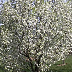 Flowering cherry lawn landscape some varieties grow to 10 15 feet tall but others can go as high as 50 feet bright white flowers in early spring mightylinksfo