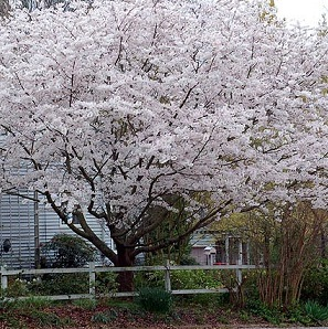 7 inexpensive ornamental trees lawn landscape flowering cherry yoshino kwanzan okame zone 6 9 three common spring blooming varieties very fast growing trees that can grow 20 40 feet tall mightylinksfo